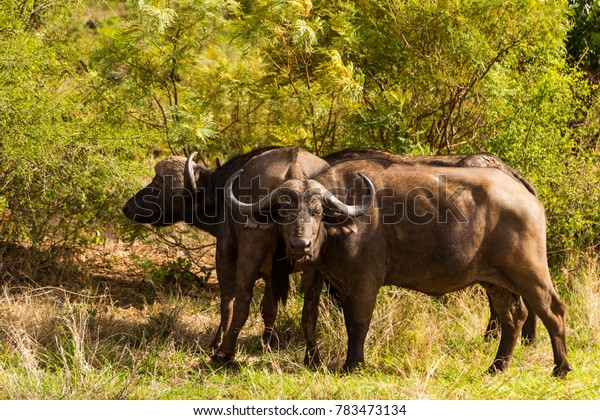Buffalo in the bush
