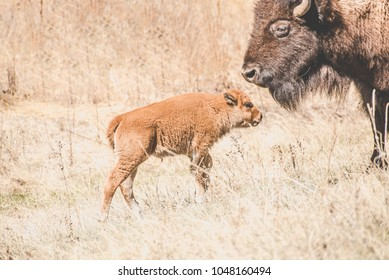 Buffalo calf and its mother