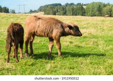 Buffalo calf on a field on a summer day