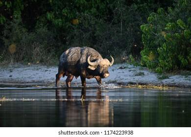 Buffalo in Chobe Park