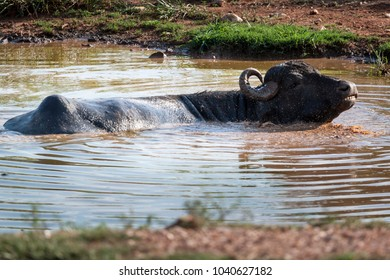 Buffalo cooling in the weir
