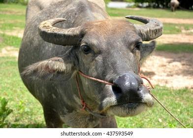 buffalo in country field