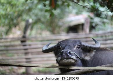 Buffalo in countryside village Thailand