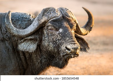 Buffalo covered in mud, South Africa