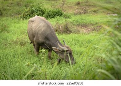 buffalo eating in field