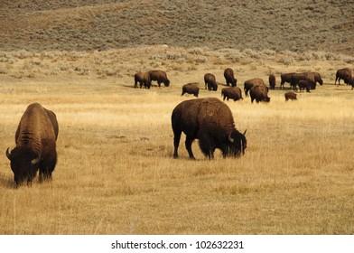 Buffalo eating the grass