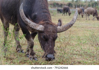 Buffalo is eating grass in the morning