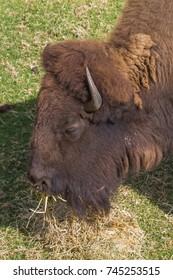 A buffalo eating hay and grass