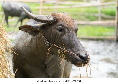Buffalo eating hay in a tropical meadow
