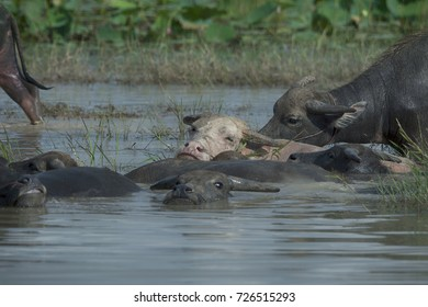 buffalo enjoy moment in water .