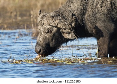Buffalo enjoying water lilies on the banks of the Chobe river.