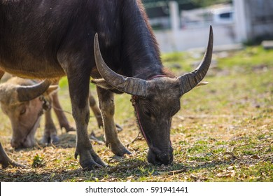 buffalo in farm and eating grass