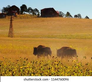 Buffalo in a field in Western USA