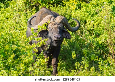 Buffalo in the forest of Aberdare Park in central Kenya