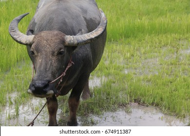 Buffalo is a four-foot animal that feeds on long, spiky, and spiked cats. Grass is a food to live in a rural outdoor field.