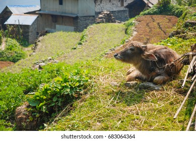 Buffalo in front of the house on the Annapurna Mountain Nepal :ABC