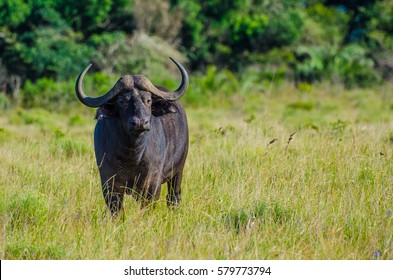 A buffalo in the grass in St Lucia Park,iSimangaliso Wetland Park, Kwazulu-Natal, Republic South Africa.