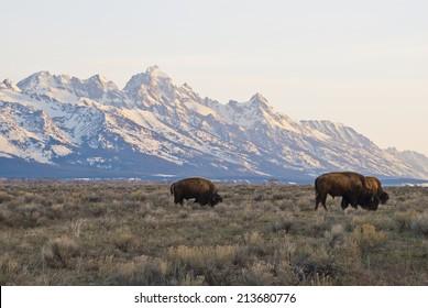 Buffalo graze in the early morning light under the towering Grand Teton Peaks near Jackson Hole, Wyoming.