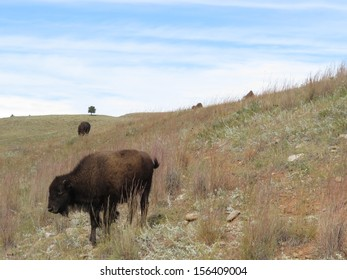 Buffalo Grazing the Curved Landscape. One Lone Distant Tree.