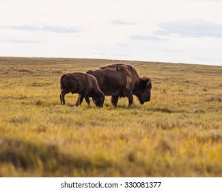 Buffalo Grazing on the Prairie