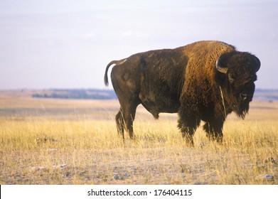 Buffalo grazing on range, Niobrara National wildlife Refuge, NE
