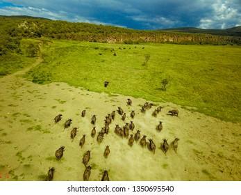 Buffalo in Hells Gate, Kenya
