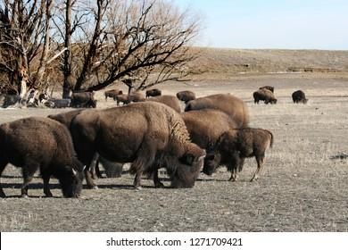 Buffalo herd grazing
