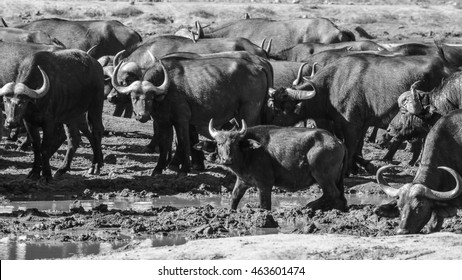 Buffalo in herd taking mud bath, Kruger National Park