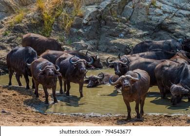 Buffalo herd in water hole