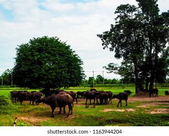 buffalo herds in Thailand framer is fram