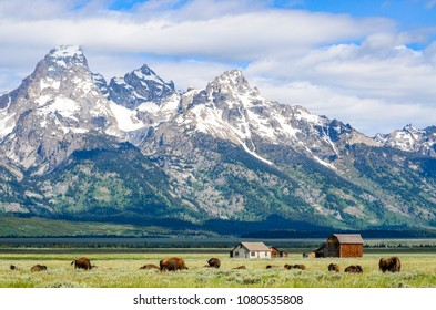 Buffalo Infront of Homesteads at the Grand Tetons National Park