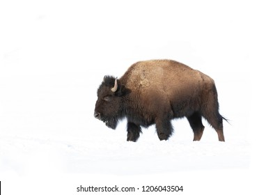 Buffalo isolated against a white background walking in a snow covered field in Canada