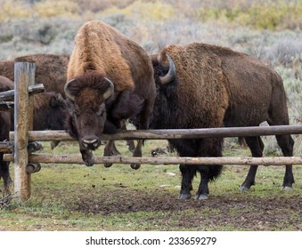 buffalo jumping over a fence