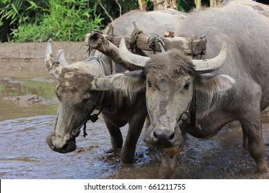 Buffalo (Kerbau)