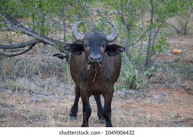 Buffalo at Kruger National Park in South Africa