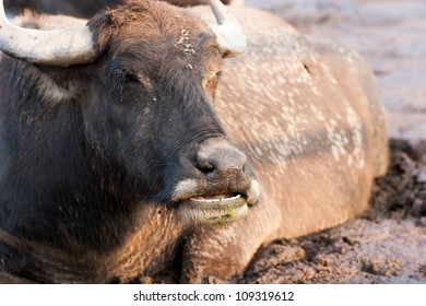 Buffalo in mod and face