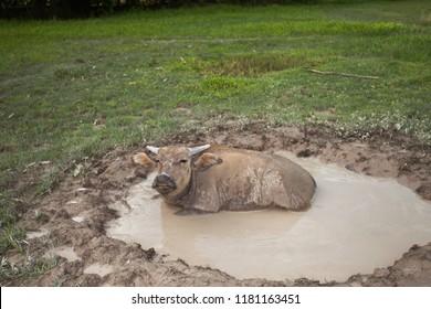 Buffalo muddy in mud pond It is a Buffalo way of life.