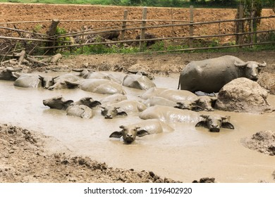 Buffalo in mud,water buffalo muddy in mud pond relaxes time animal,Buffalo field asia
