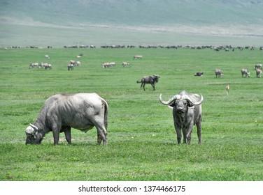 Buffalo in Ngorongoro