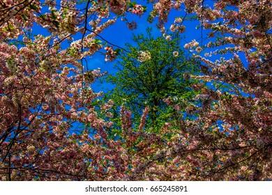 Buffalo NY Cherry blossoms