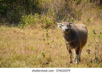 Buffalo on the grass field