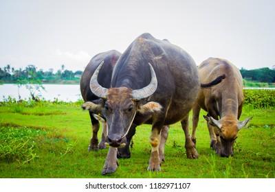 Buffalo on a meadow in Thailand