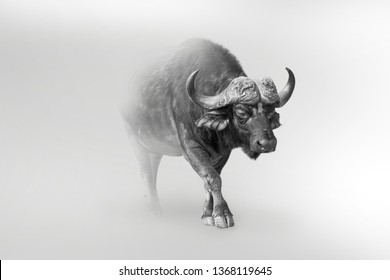 Buffalo is one of african big five nature wildlife animals