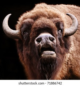 buffalo with open mouth