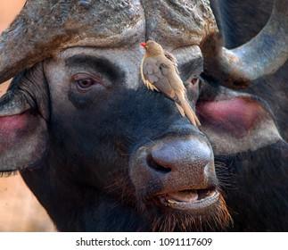 Buffalo and Oxpecker