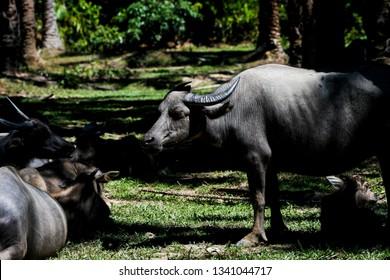 Buffalo in palm plantation