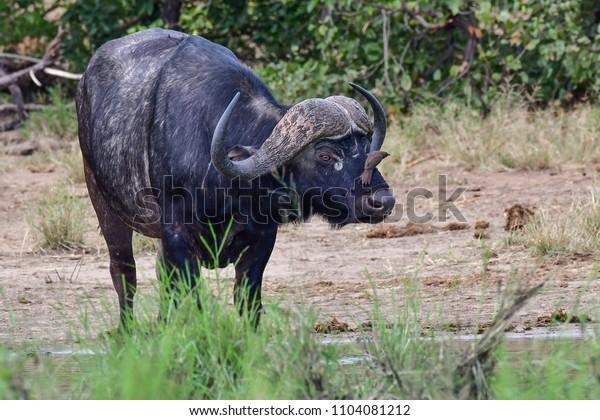 buffalo at a pan