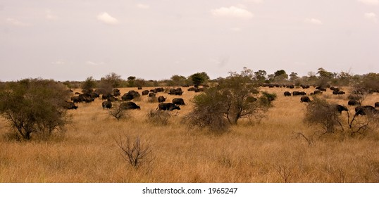 Buffalo panorama in kruger national park