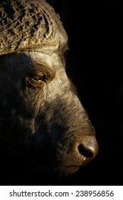 Buffalo Profile