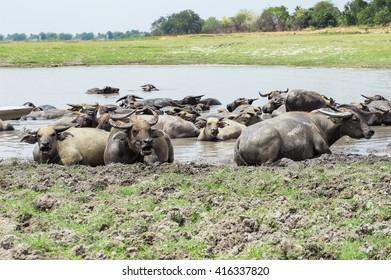 Buffalo relaxing in the water